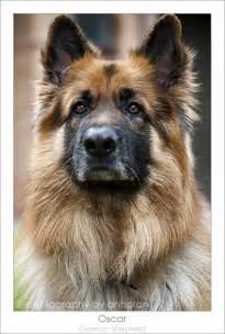 Oscar German Shepherd