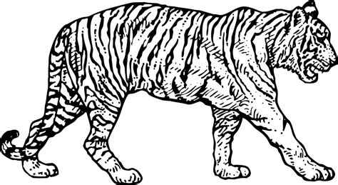Coloring Tiger by Tiger Coloring Pages Bestofcoloring