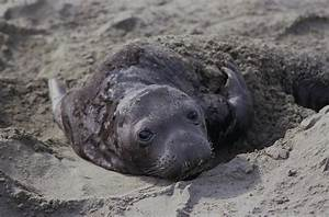 Newborn Northern Elephant Seal Pup Photograph by Don Kreuter