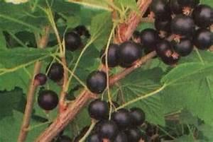 Schwarze Johannisbeere Pflanzen : schwarze johannisbeere ribes nigrum tisel 39 pflanzen enzyklop die ~ Frokenaadalensverden.com Haus und Dekorationen