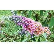 Free Tri Color Butterfly Bush Seeds 20  Gardening