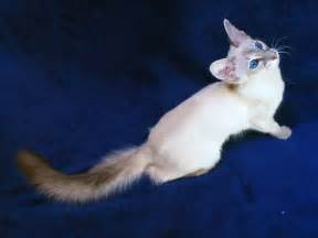balinese cat balinese and javanese cat purrfect cat breeds