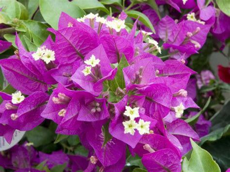 comment cultiver la bougainvill 233 e bougainvillea hybride