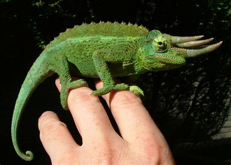 chameleon pet what pet can you get that is the closest looking to a dinosaur yahoo answers