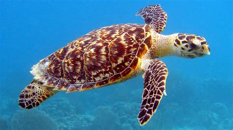 Sea Animals Wallpapers Free - sea animal turtle hd desktop background photo hd