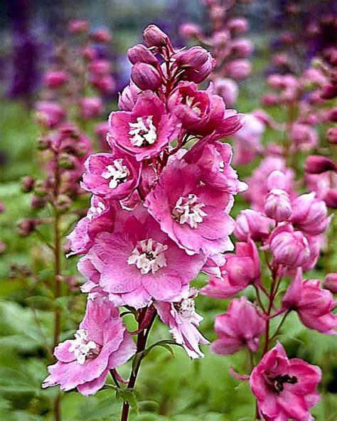 Rosa Blühende Stauden by Rittersporn Rosa Garten Rittersporn Stauden Pflanzen