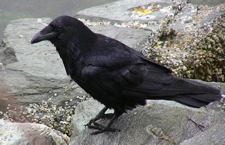 common raven species profile alaska department  fish