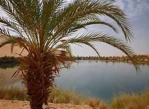 Palme Gelbe Blätter : dattelpalme phoenix dactylifera eisend nger gegen moos ~ Lizthompson.info Haus und Dekorationen