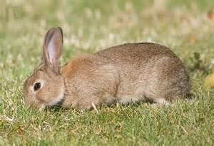 ウサギ:Description Oryctolagus cuniculus Tasmania ...