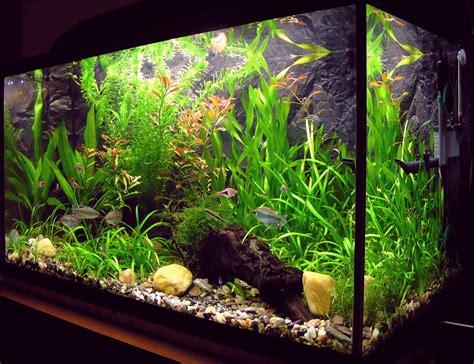 decoration aquarium eau douce ambystoma mexicanum mexican axolotls