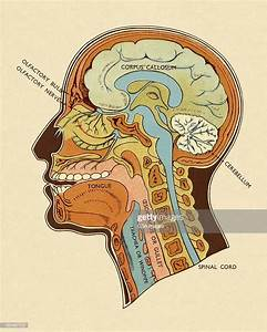 Diagram Of Head And Neck High-res Vector Graphic