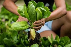 Pak Choi Anbau : gem se im herbst anbauen die 10 besten pflanzen f r die nachkultur plantura ~ Eleganceandgraceweddings.com Haus und Dekorationen
