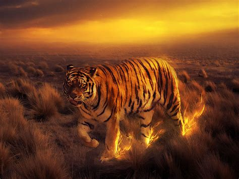 Fire Tiger Wallpaper