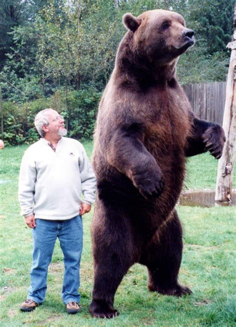 Grizzly Bear Standing Next to Human
