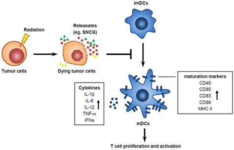 Immunosuppressive Effect Of Sncg. Tumor Cells Exposed To