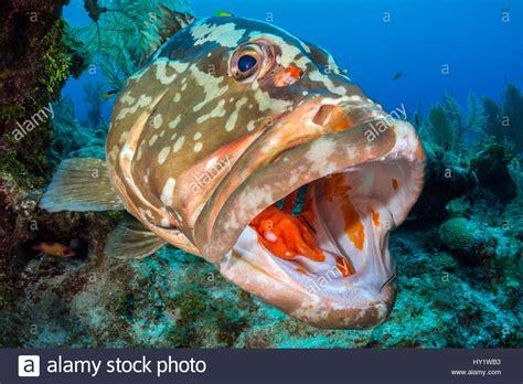 epinephelus striatus grouper nassau gobies cleaner pdf alamy author shopping cart