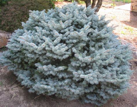blue spruce picea pungens montgomery the site gardener