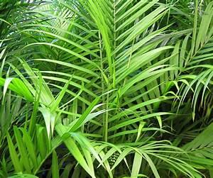 La Palma Jardin : palma areca usos y cuidados ~ A.2002-acura-tl-radio.info Haus und Dekorationen