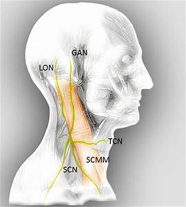 Greater Auricular Nerve Block | www.pixshark.com - Images ...