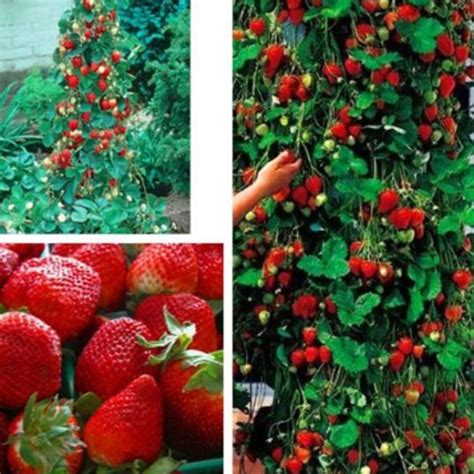 Red 100pcs Strawberry Climbing Strawberry Fruit Plant