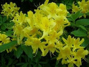 Busch Mit Gelben Blüten : wie hei t dieser busch mit duftenden gelben bl ten rhododendron luteum ~ Frokenaadalensverden.com Haus und Dekorationen