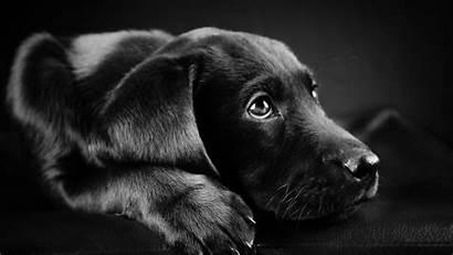 Labrador Dog Background Animals Retriever Face Puppies
