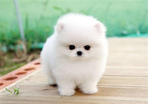 micro tiny teacup white pomeranian love puppy adorable