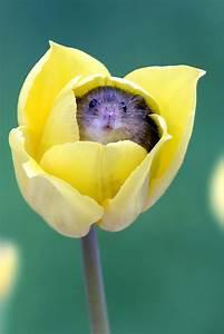 U00bb Flower Beds  U2013 Harvest Mice Sleep In Tulip Petals