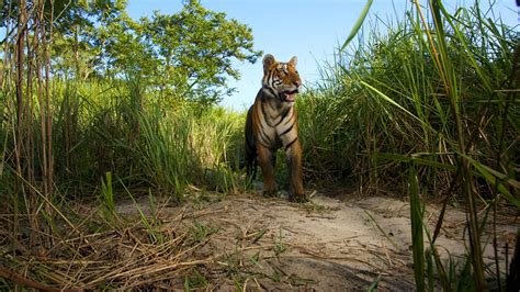 bhutan tigers bbc wildlife wild episode tiger lost land nature sorry currently