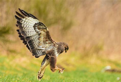 auf wunsch auf wunsch bussard in r 252 ttelflug 252 ber beute foto bild tiere wildlife