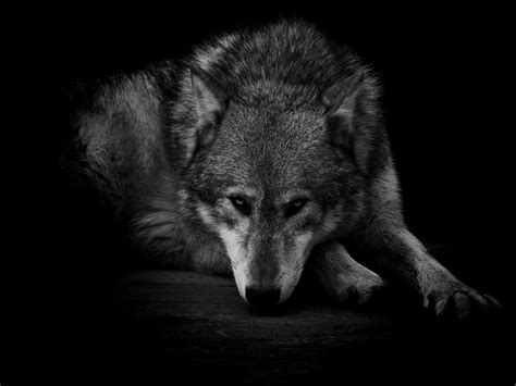 Spirit Animal Wallpaper - wolf spirit wallpaper hd