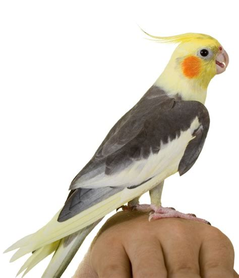 finches as pets pet finches