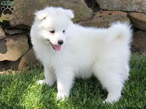 Samoyed Poodle Mix Puppies For Sale - Goldenacresdogs.com