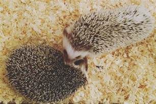 heat l for my hedgehog hedgehog bedding options best bedding for hedgehogs