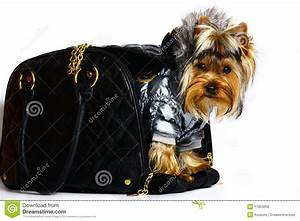 Yorkshire Terrier In The Winter Clothes. Royalty Free ...