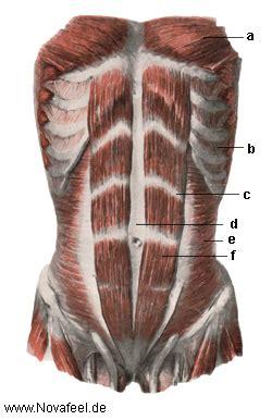 bauchmuskeln anatomie