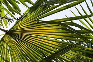Hanfpalme Braune Blätter : hanfpalme die bl tter abschneiden ~ Lizthompson.info Haus und Dekorationen