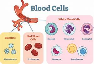 Blood Cells Types And Functions  Red Blood Cells And White