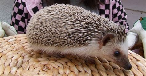 mites on hedgehogs fuzzypeg a six month old african pygmy hedgehog tiny mites were found in her cage pete the vet