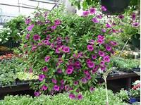 sun loving shrubs Sun-Loving Bedding Plants | Hyams Garden & Accent Store