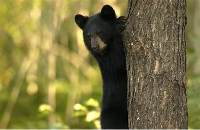 Bear Michigan Bears Wild Many Dnr Amazing