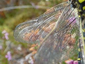 Dragonfly Wing Detail