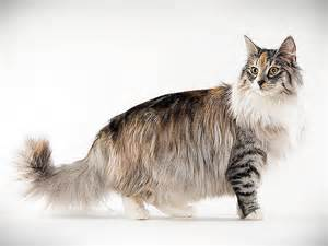 forest cat for forest cat animal planet