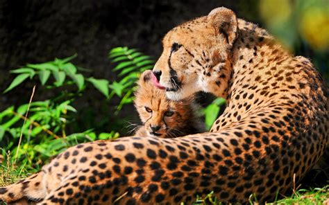 Animal Wallpaper For Walls - cheetah hd wallpaper and background 2560x1599 id