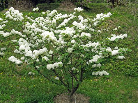 viburno in vaso viburno coltivazione cure e moltiplicazione per talea