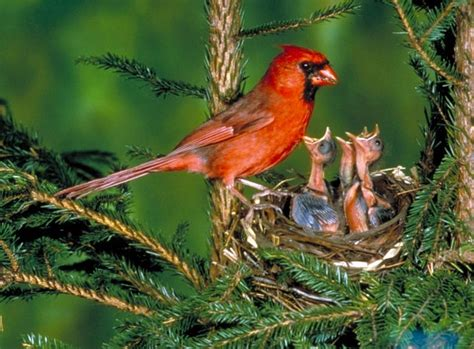 parent feeding baby cardinals in nest birds and their