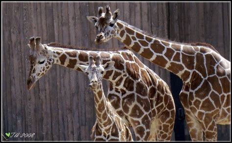 Very Funny Giraffes Wiresmash