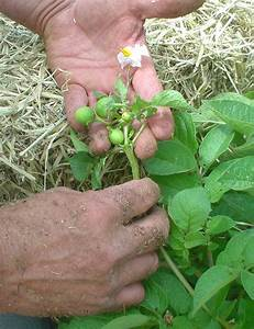 U0026quot Sharing Gardens U0026quot   Get Your Seed Potatoes Now