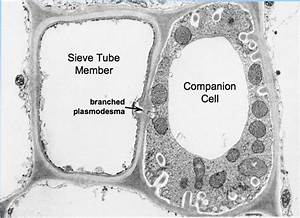 Companion Cells In Plants  Function  U0026 Concept