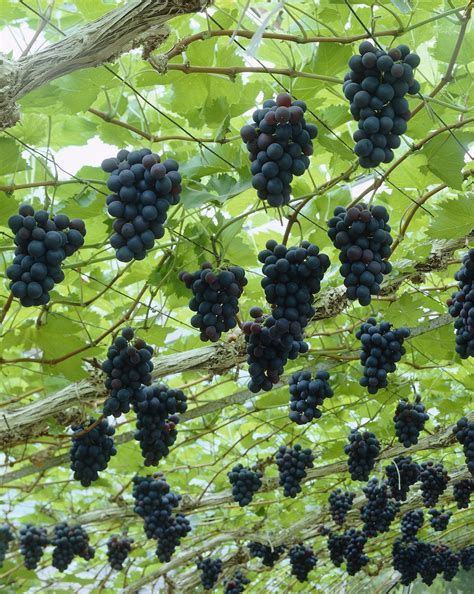 grape plant pictures growing grapes is as close as you can get to make wine from water here is how you should prune